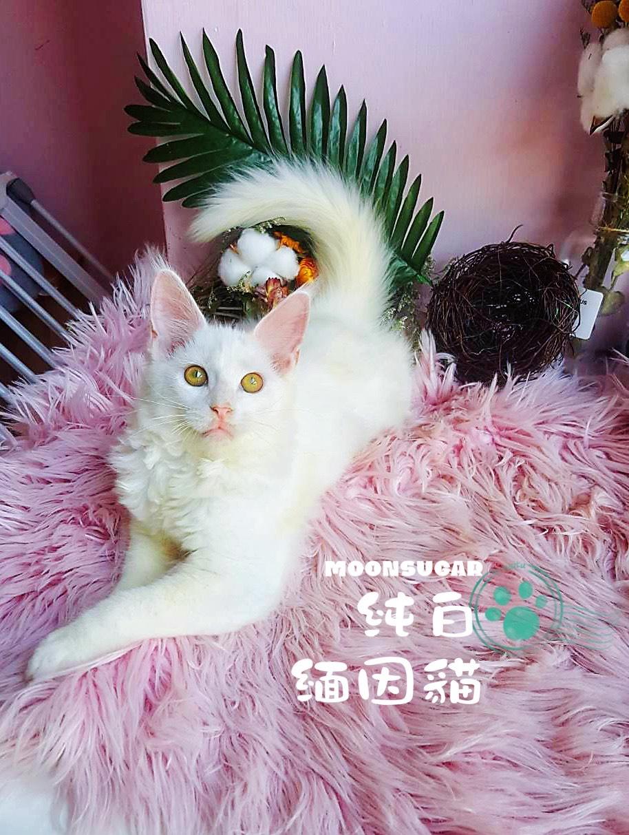 月亮糖糖喵樂園/純白緬因貓妹妹