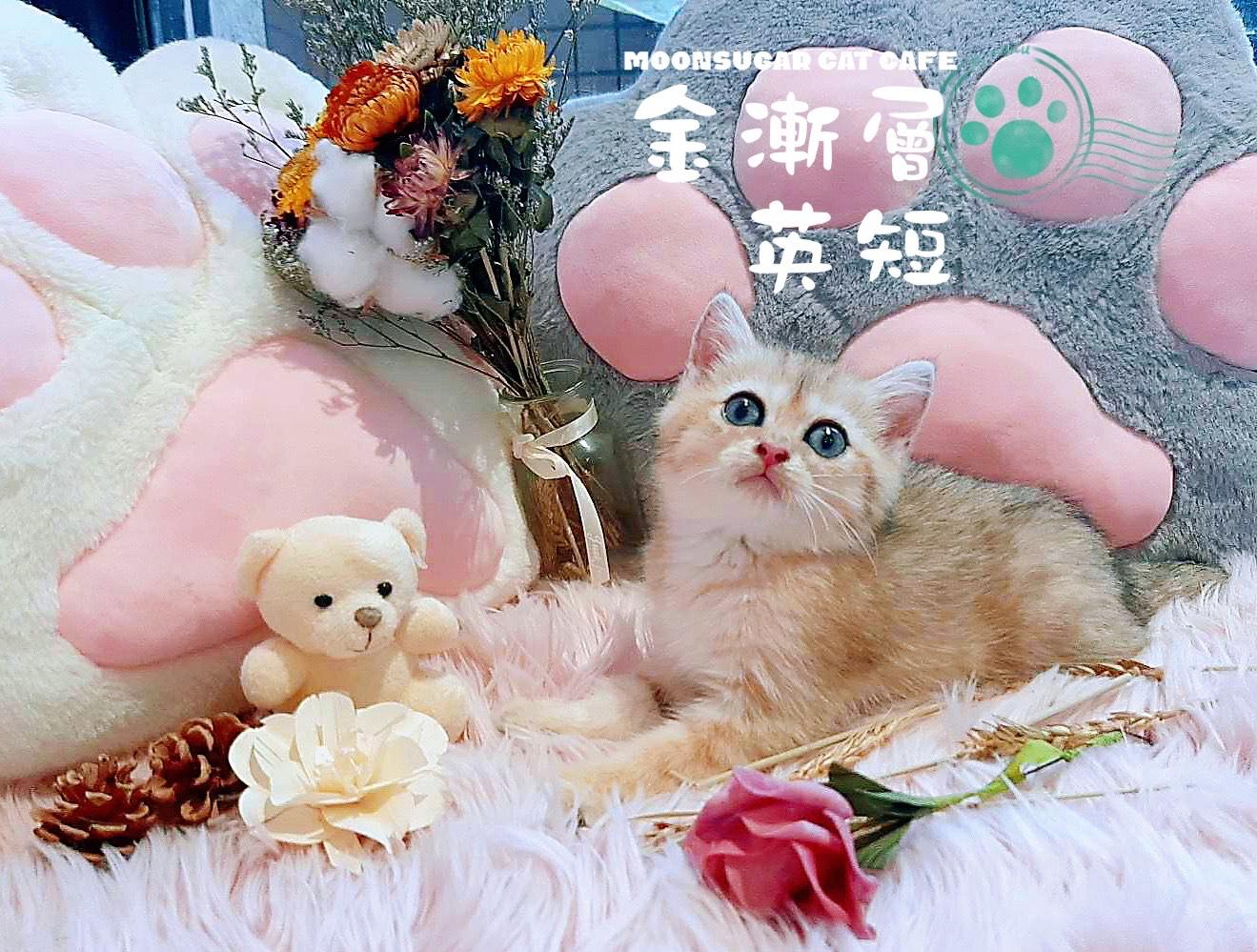 月亮糖糖喵樂園/ny25金漸層英短