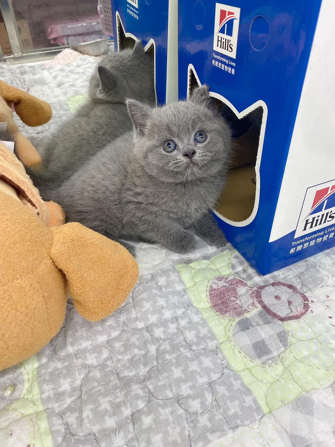旻利寵物坊/藍色 英國短毛貓 弟弟