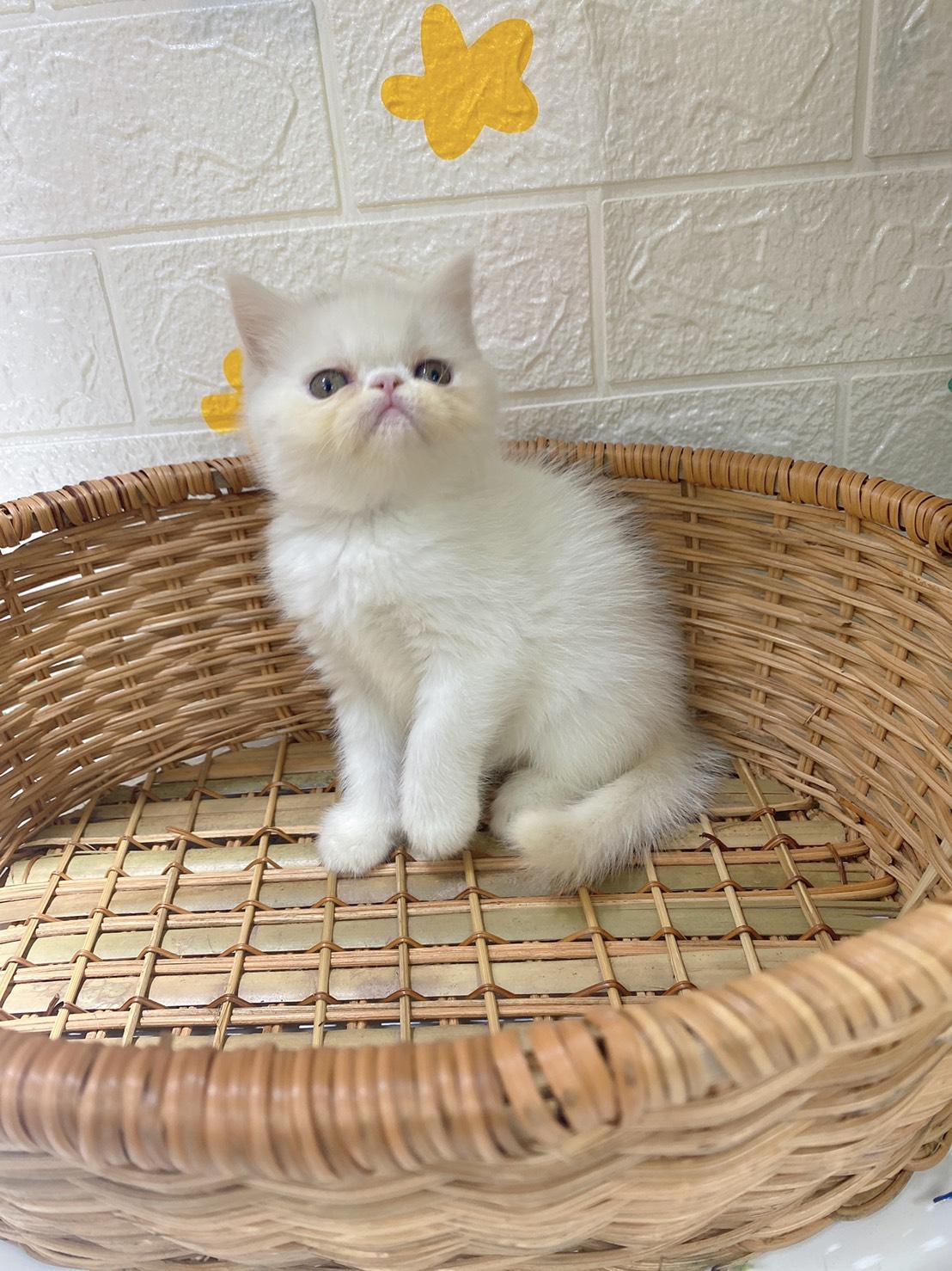 旻利寵物坊/白色 異國短毛貓