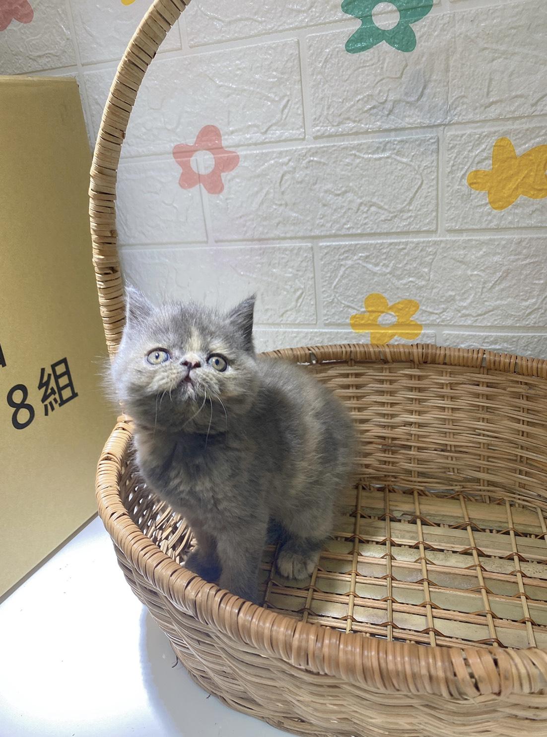 旻利寵物坊/藍奶油 異國短毛貓