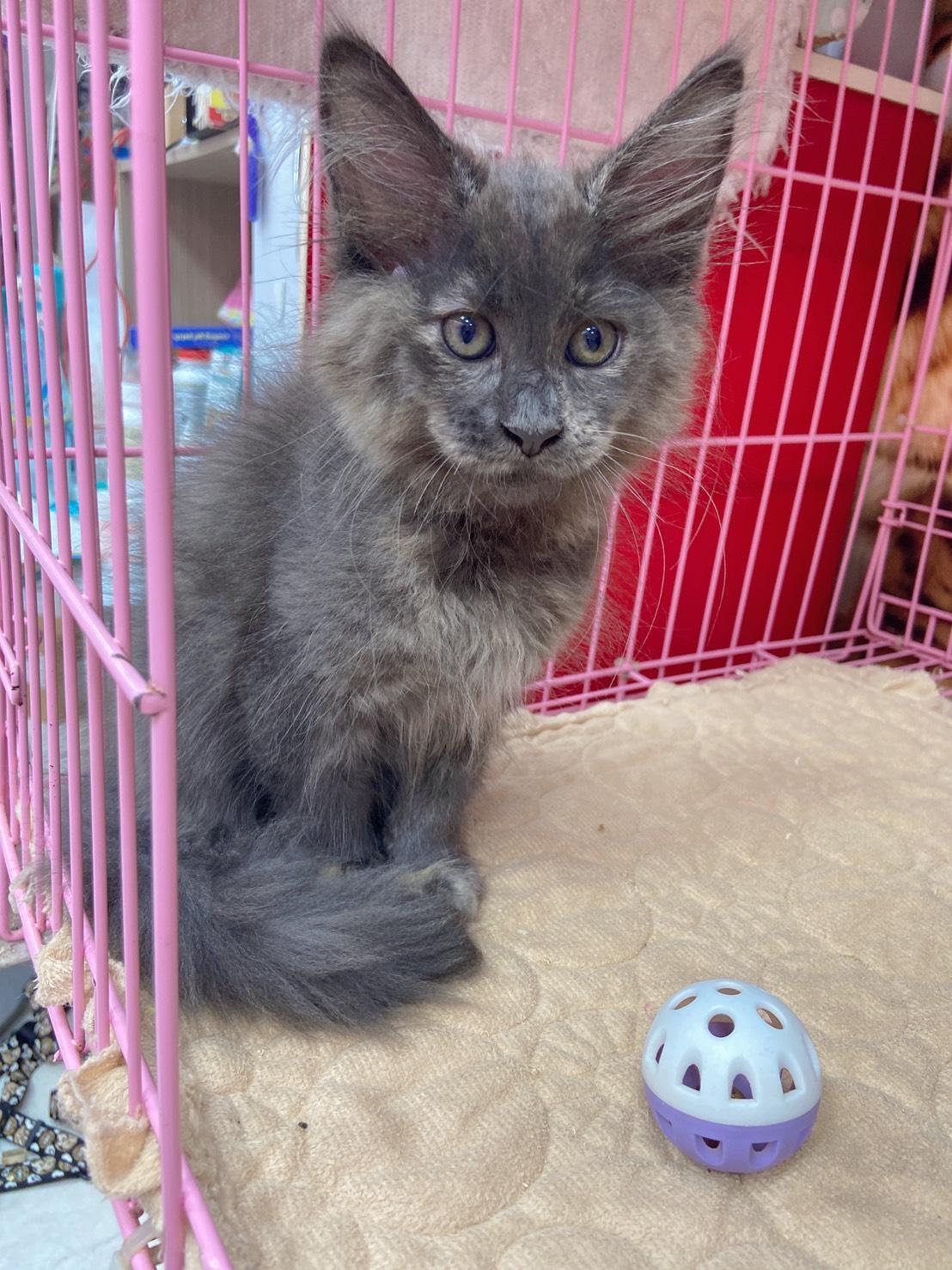 旻利寵物坊/藍奶油 緬因貓