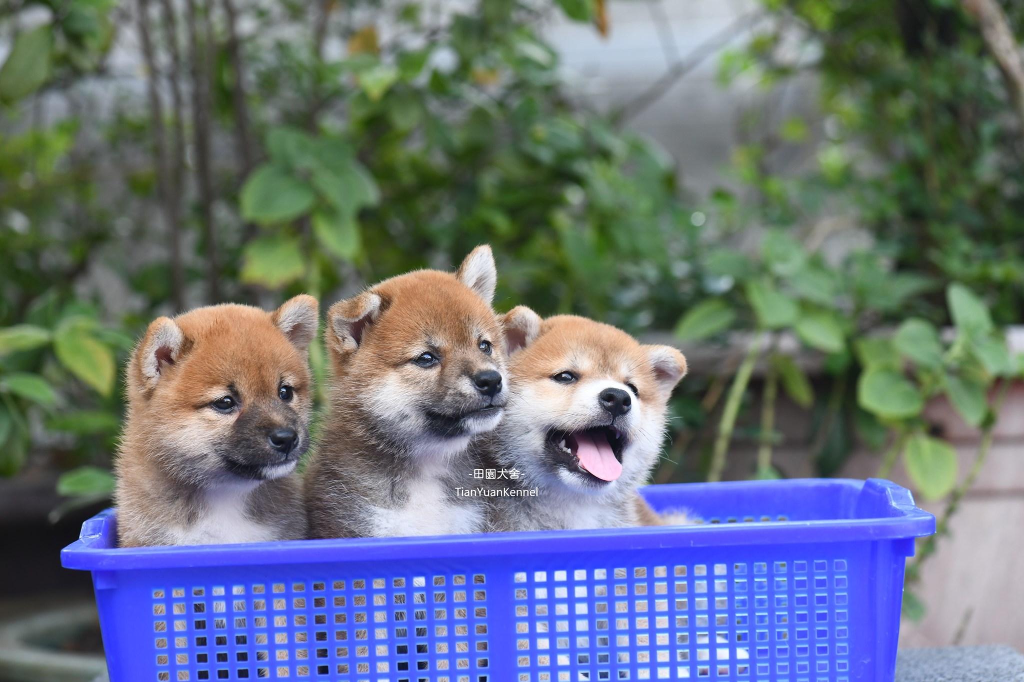 田園寵物莊/氣質小柴犬寶貝