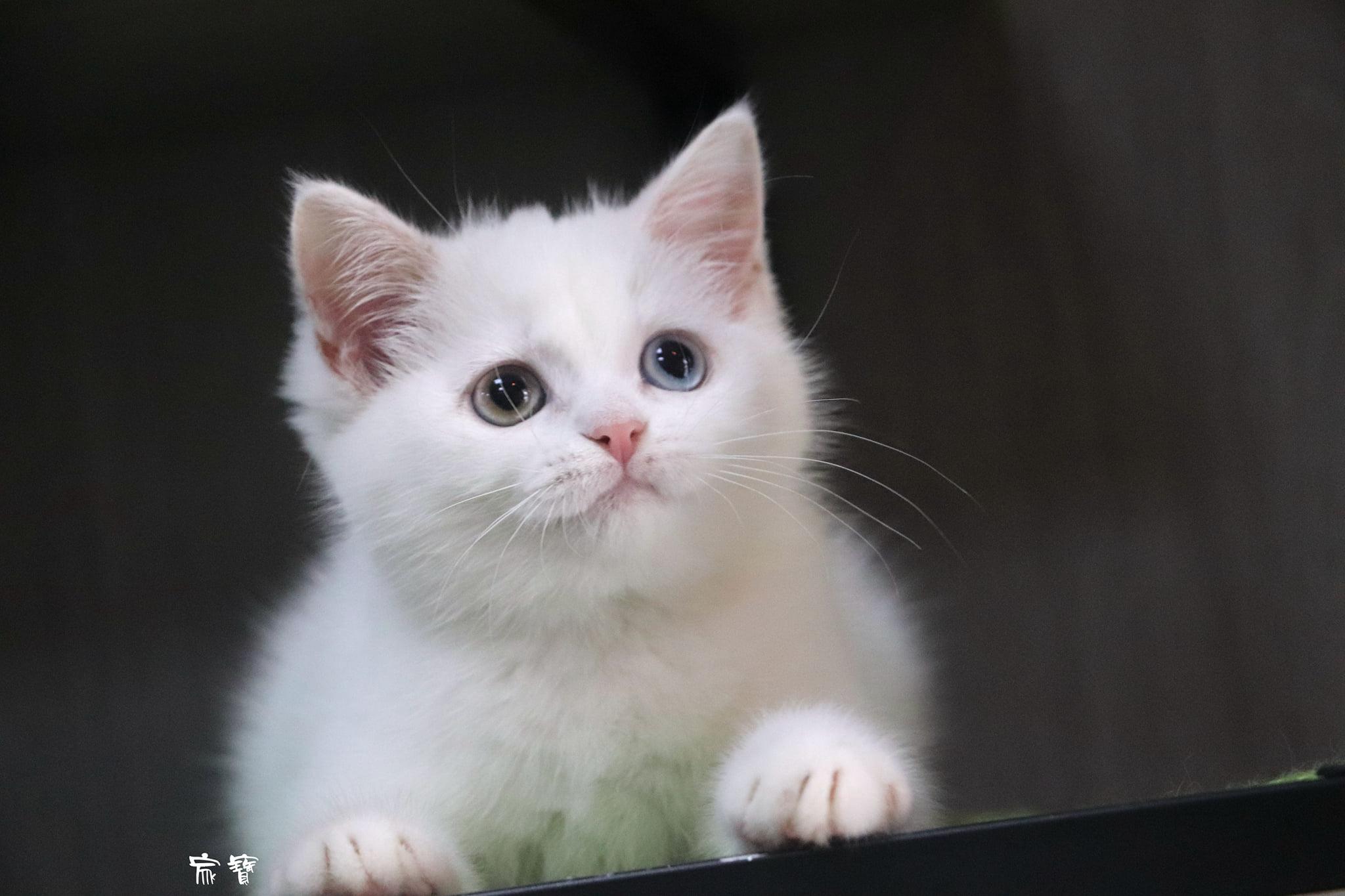 家寶寵物/異瞳白英短 女孩