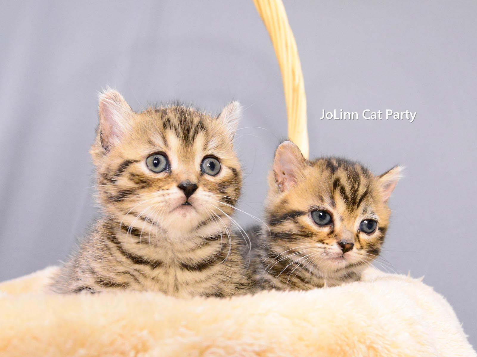 貓咪派對/豹紋曼赤肯 短腿豹貓