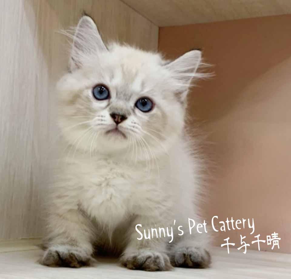 千晴寵物坊/海豹山貓紋小步舞曲矮腳貓