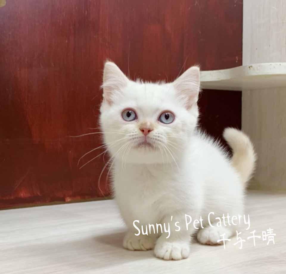 千晴寵物坊/奶油重點色小步舞曲 拿破崙短腿貓