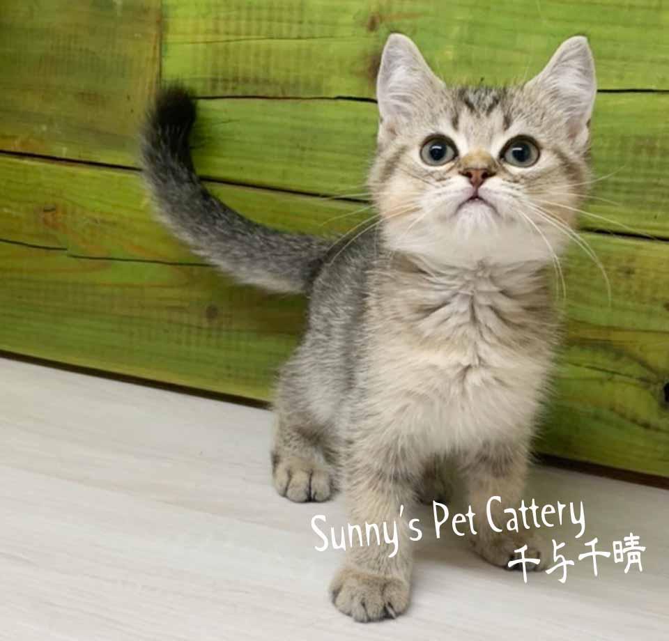 千晴寵物坊/黑金特殊色 英國短毛貓