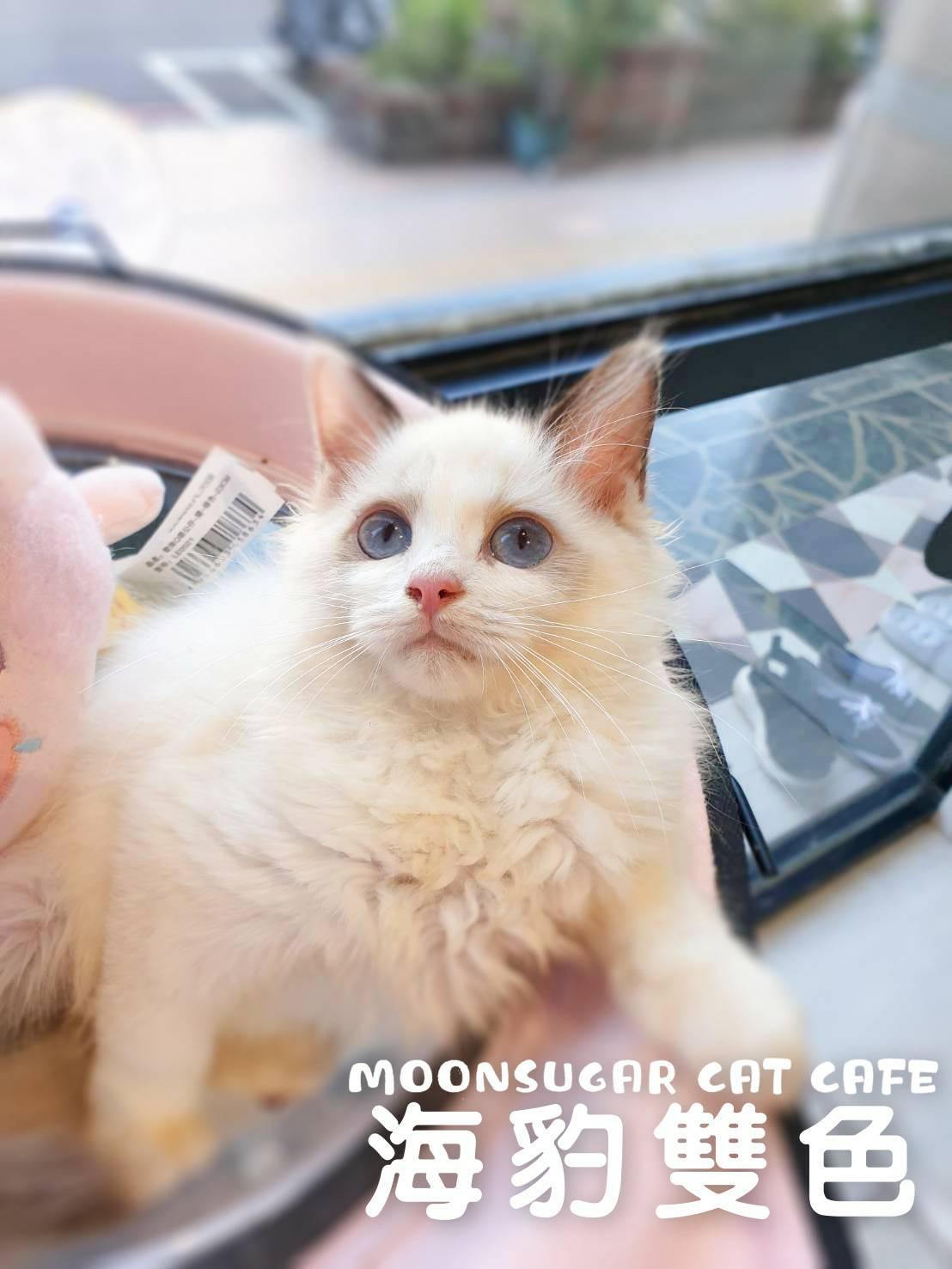 月亮糖糖喵樂園/各色布偶貓