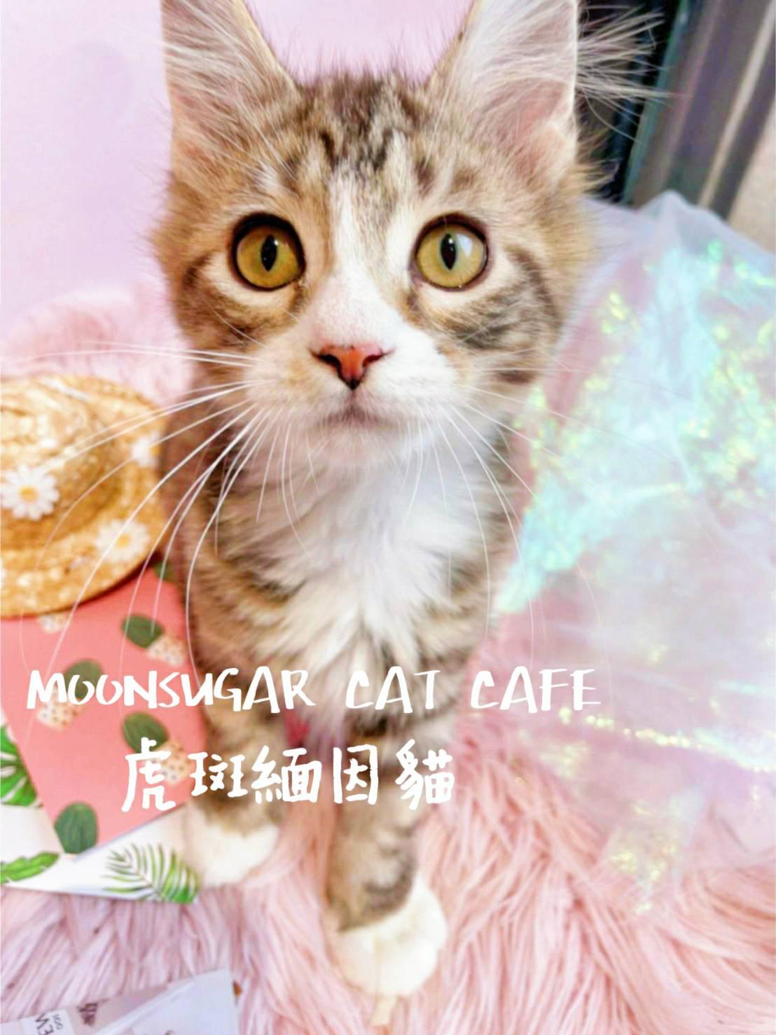 月亮糖糖喵樂園/三花緬因貓妹妹