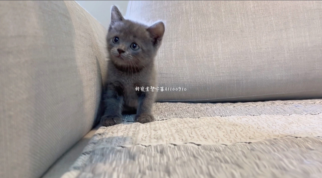 尊爵名皇/藍色英國短毛貓