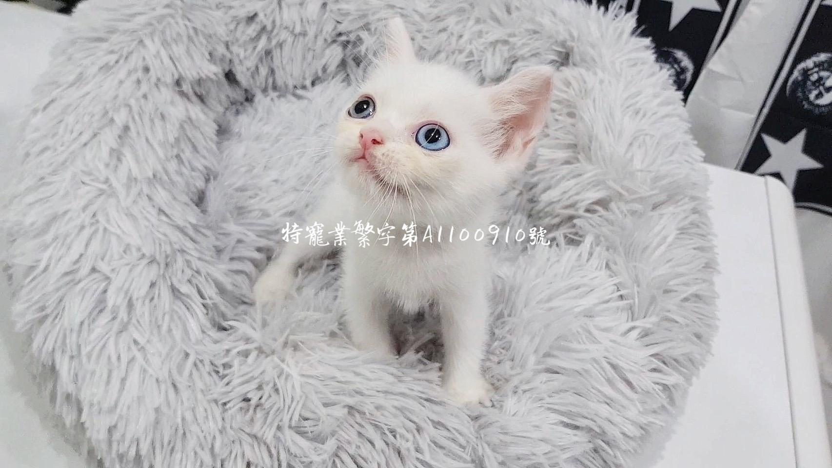 尊爵名皇/異瞳貓