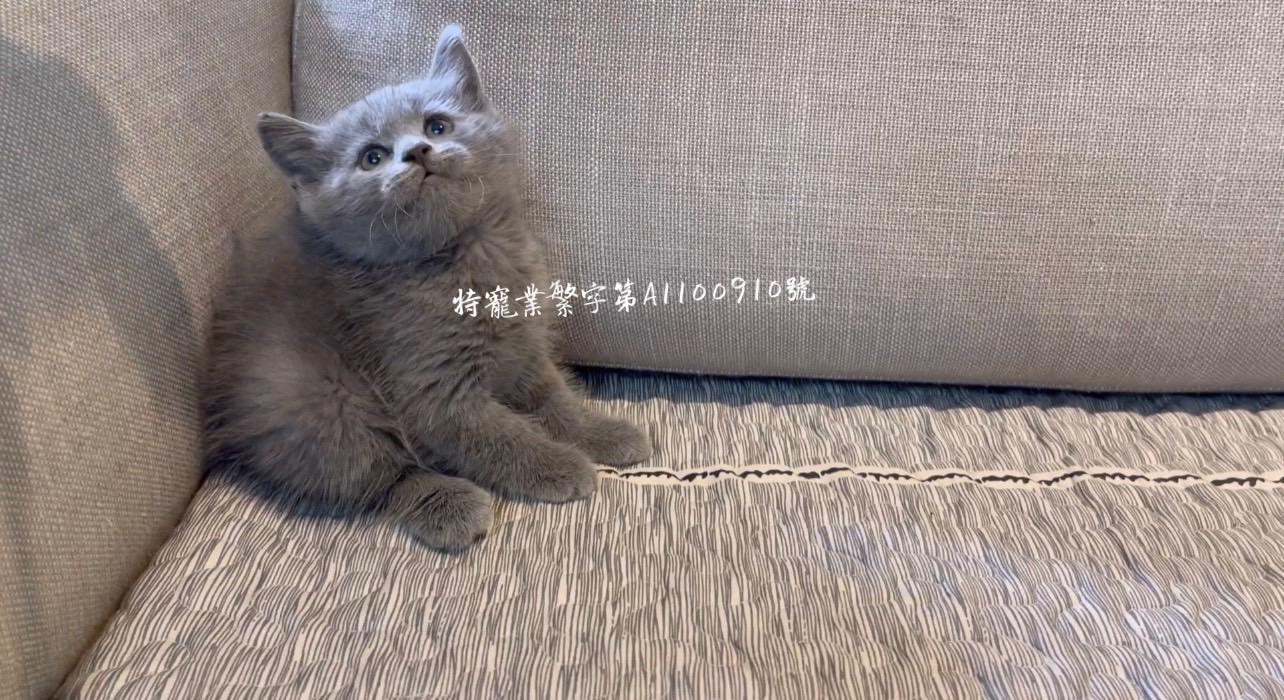 尊爵名皇/大頭藍色英國短毛貓