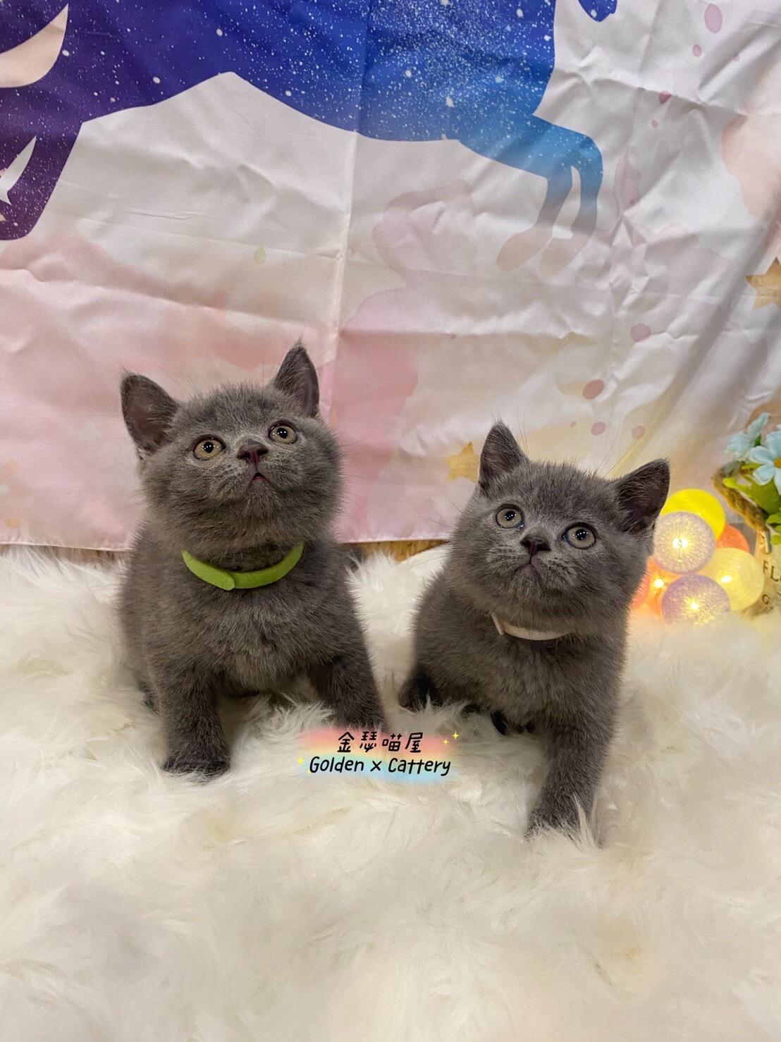 金瑟喵屋/超級包子臉 全藍英國短毛貓