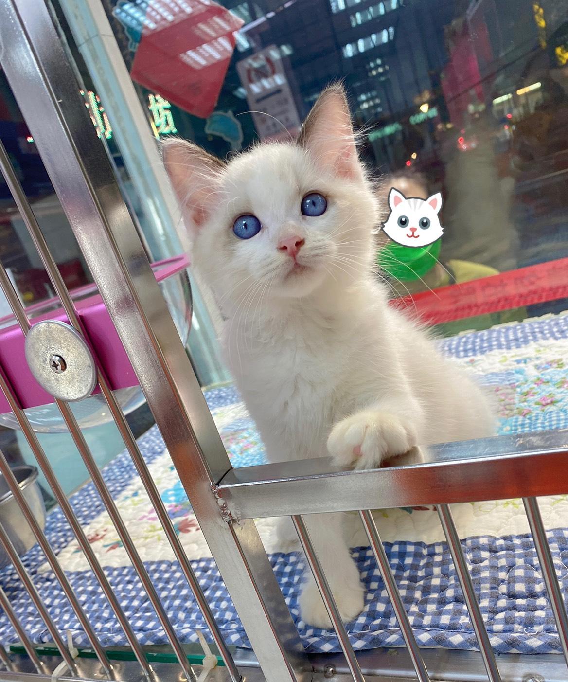 旻利寵物坊/布偶貓 弟弟