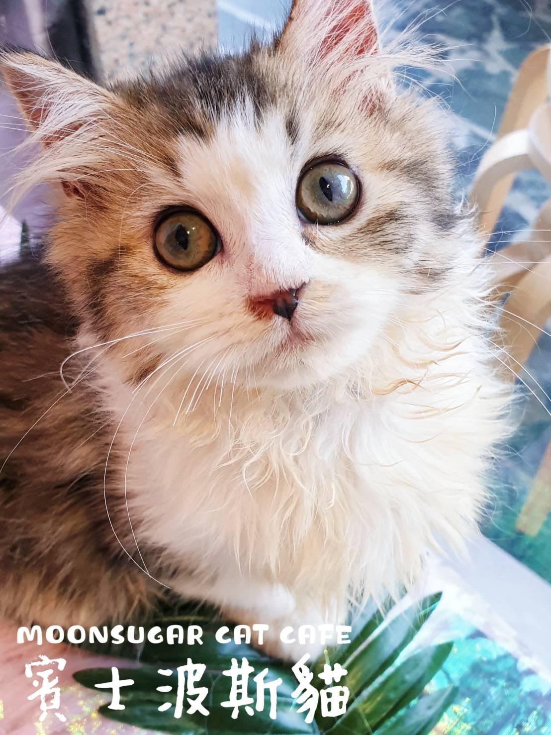 月亮糖糖喵樂園/銀色金吉拉 賓士波斯貓